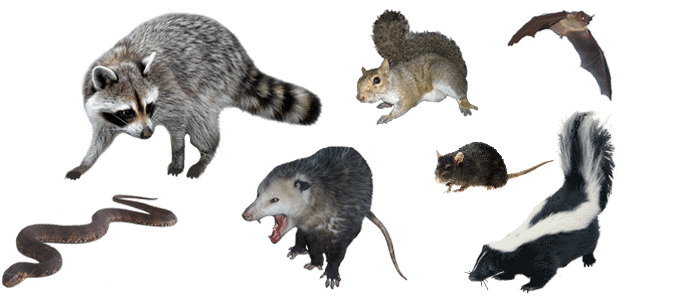 All You Need To Know About Wildlife Animal Removal 2